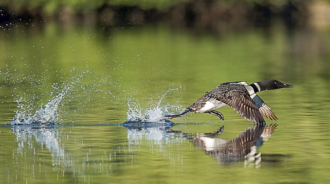 loon running on water-northof49photography.com
