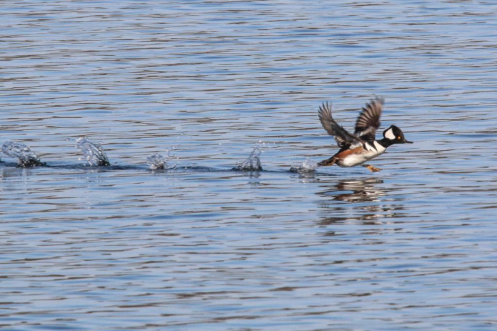 male hooded merganser running on water