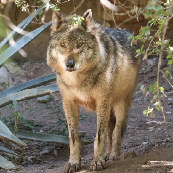 mexican wolf-at the Sonora desert museum, Tucson