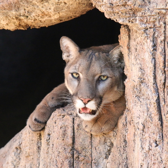 mountain lion-