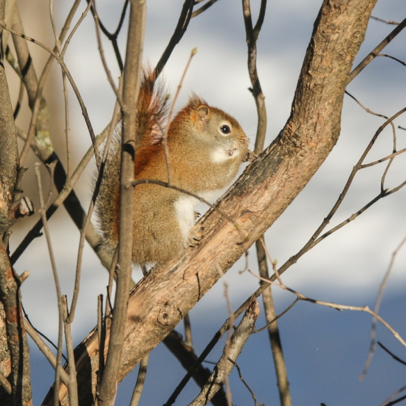 red squirrel-