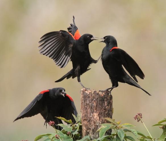 Red-winged Blackbirds-Alamo, TX