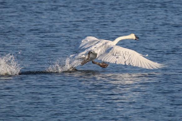 trumpeter swan running on water
