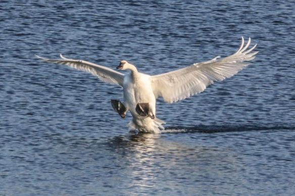 trumpeter swan landing-