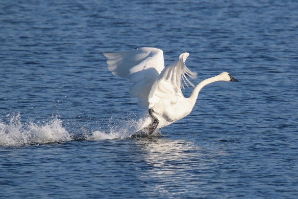 trumpeter swan running on water