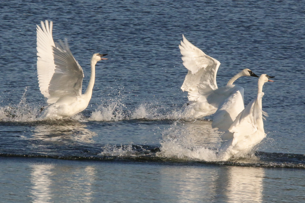 trumpeter swans running on water