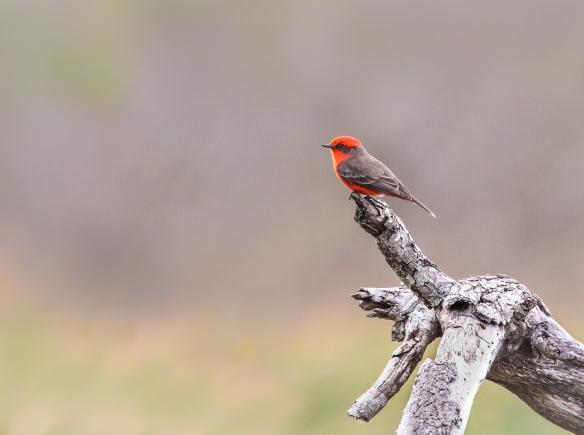Vermillion Flycatcher-Tucson AZ