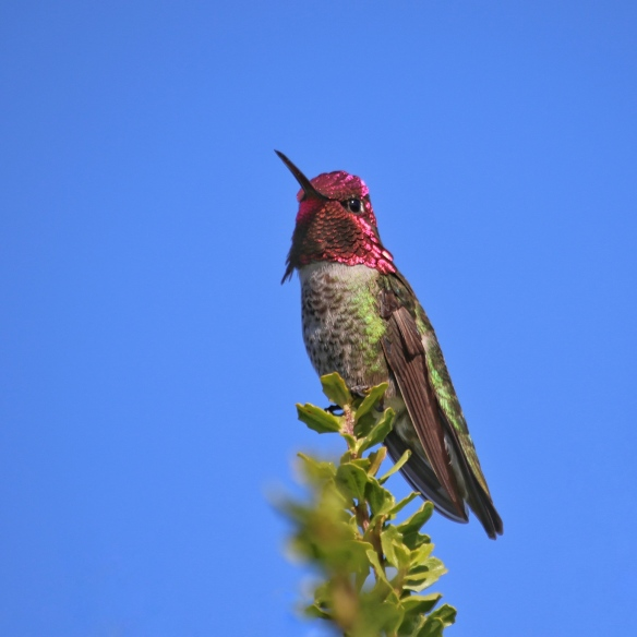 Male Anna's hummingbird threat display