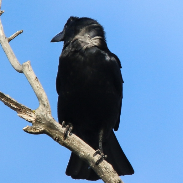 american crow-white feathers beneath black ones