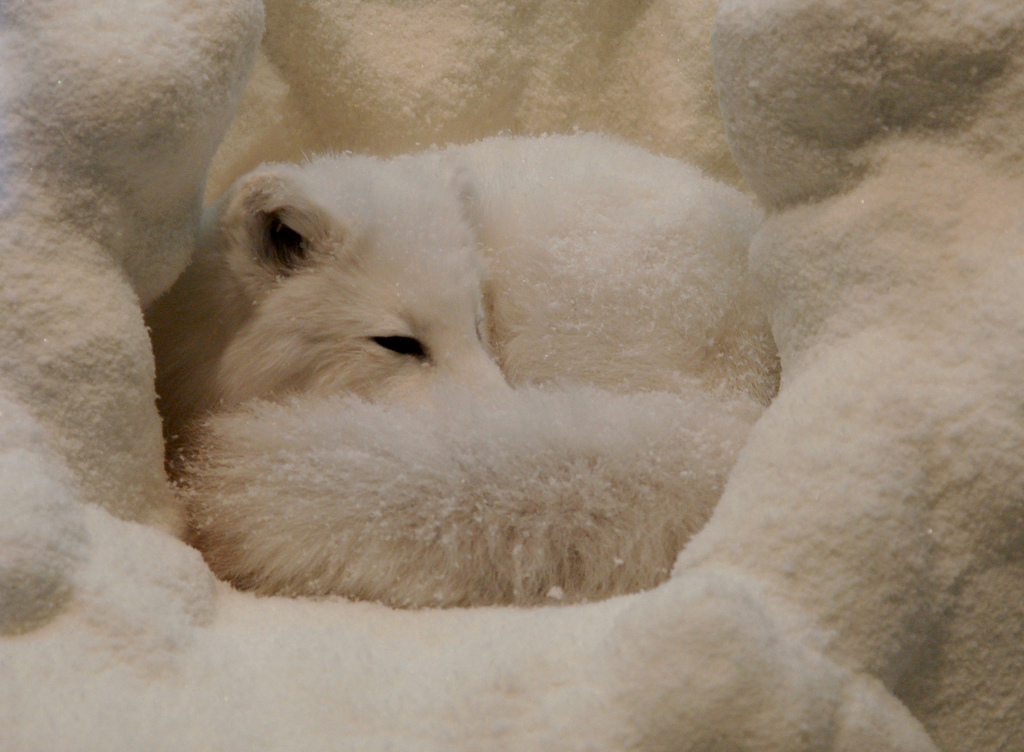 artic fox sleeping-curious expeditions.flickr