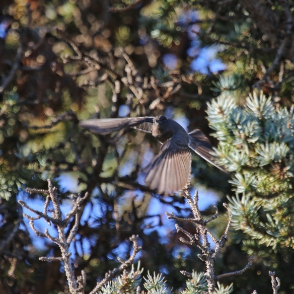 Black Phoebe flycatching (sallying)