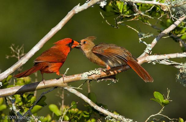 cardinal courtship feeding-rudiger merz