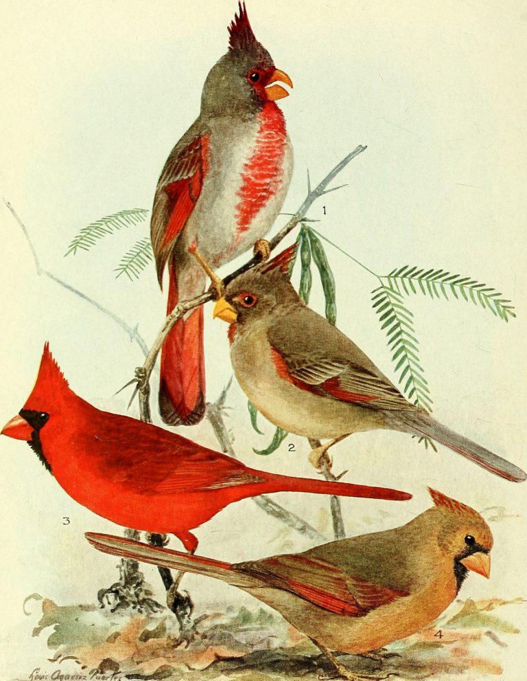 Cardinal vs Pyrrhuloxia--DFW Urban Wildlife
