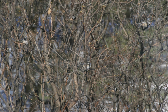 chickadee family-no highlights-