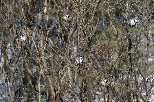 chickadee family-with highlights-