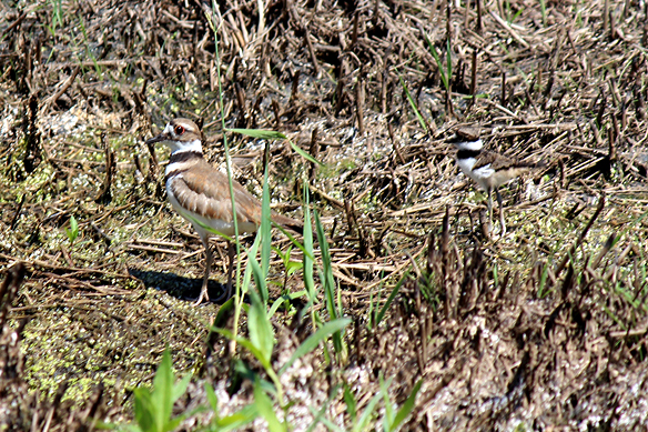 kildeer-defending-chicks-