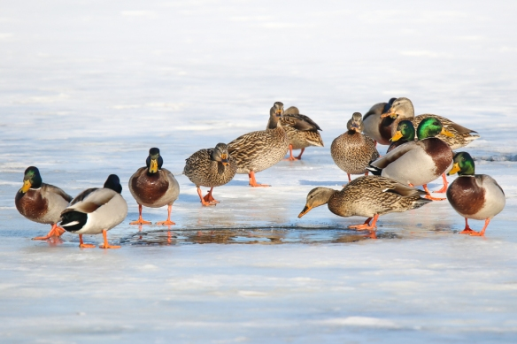 mallard ducks-on ice