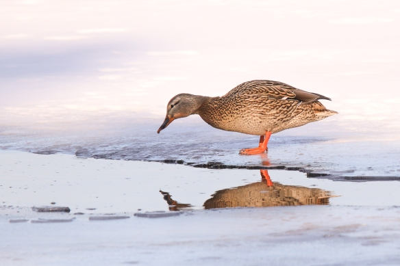 mallard hen on ice