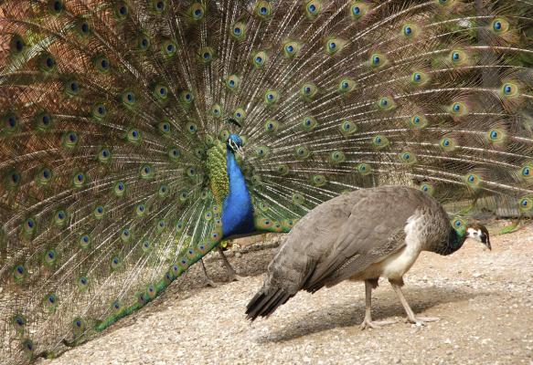 peacock-and-peahen-birdeden.com