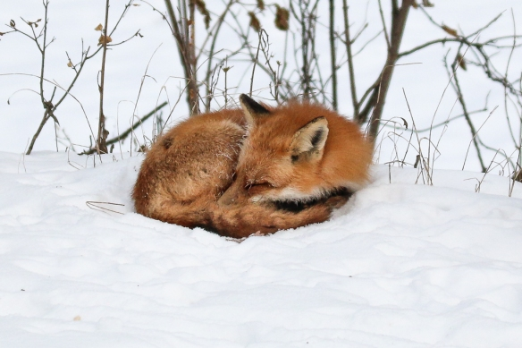 red fox-sleeping in snow