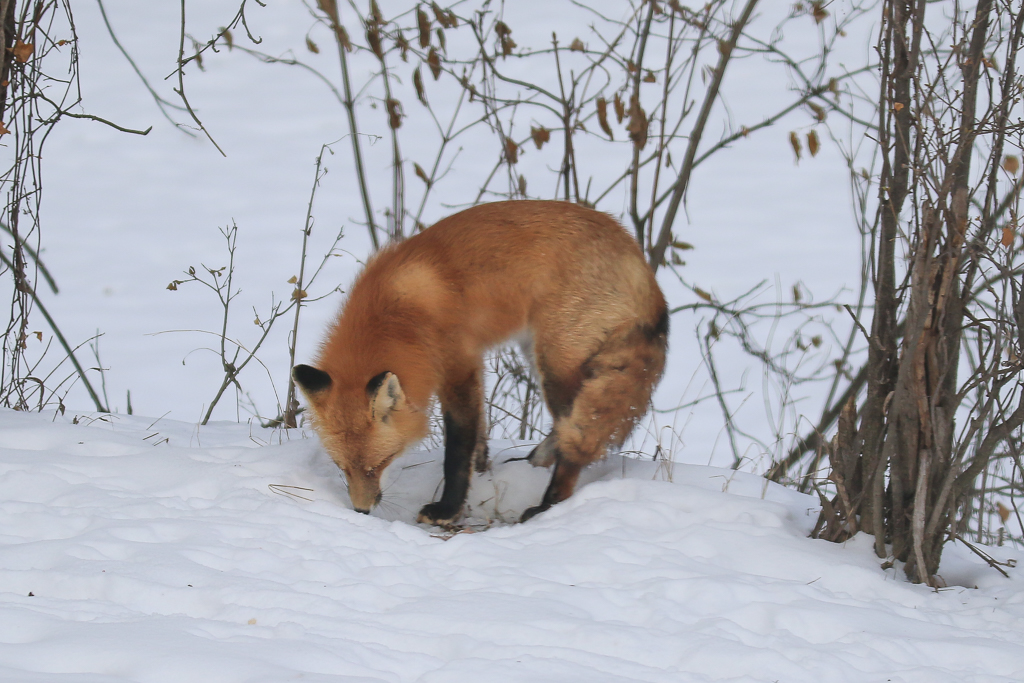 red fox-eating snow