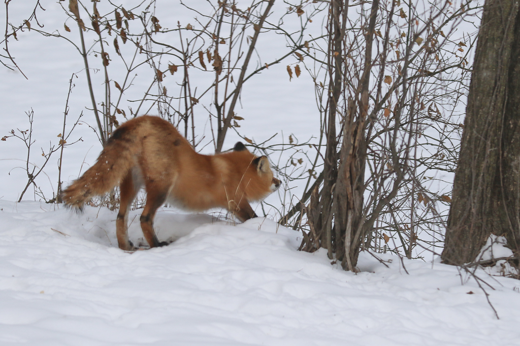 red fox-stretching