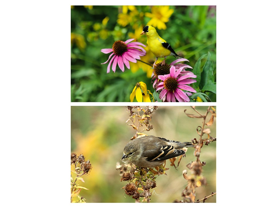 summer vs winter American Goldfinch plumage