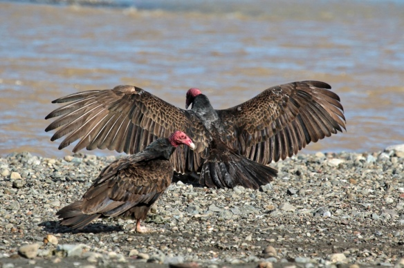 turkey vulture basking