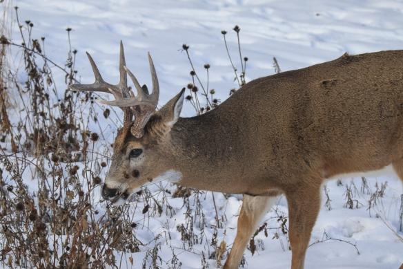 white-tailed buck-