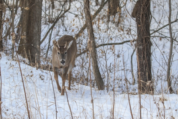 first year white-tailed buck (spike)