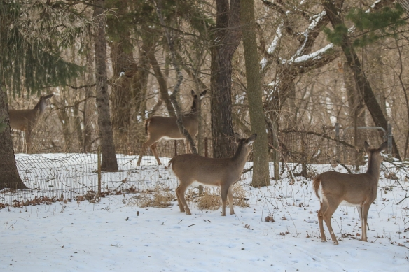 white-tailed bucks