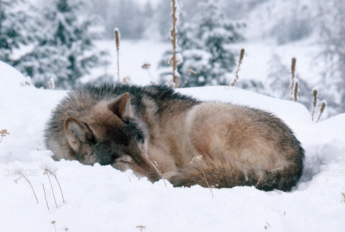 wolf sleeping-Jeffrey Lepore-Science Source