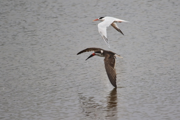Black Skimmer and Elegant Tern