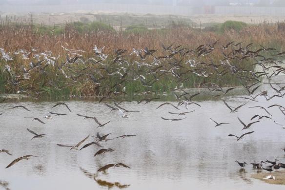 Black Skimmers and Franklins Gulls, Los Pantanos de Villa reserve, Lima, Peru