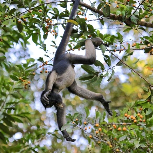 Yellow-bellied spider monkey