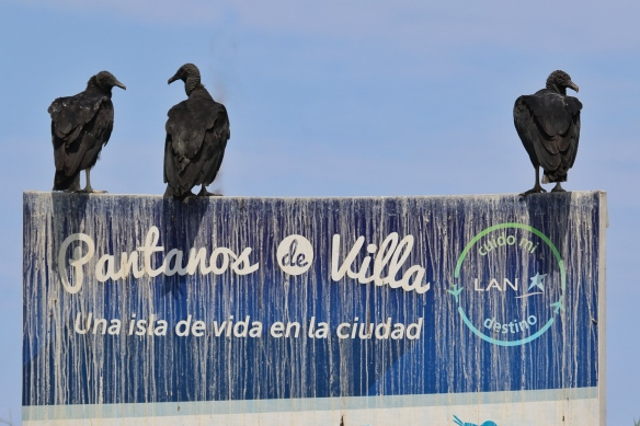 Black Vultures at Los Pantanos de Villa