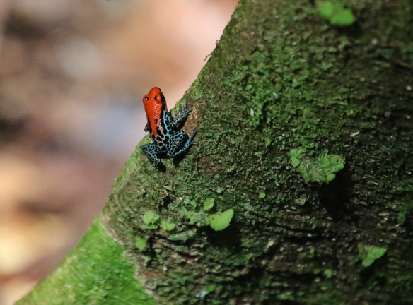 Poison dart frog, Amazon forest