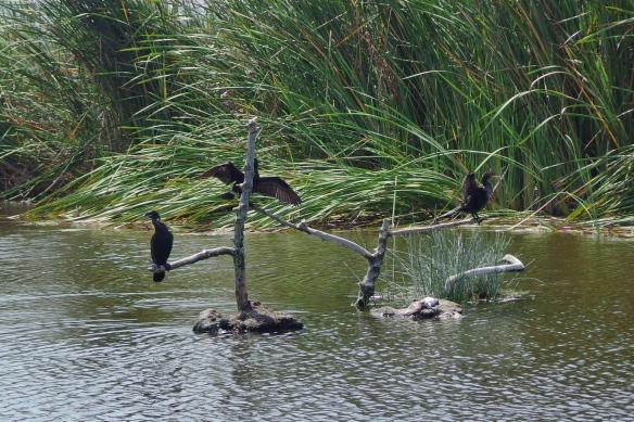 Neotropical Cormorants at Los Pantanos de Villa reserve, Lima, Peru