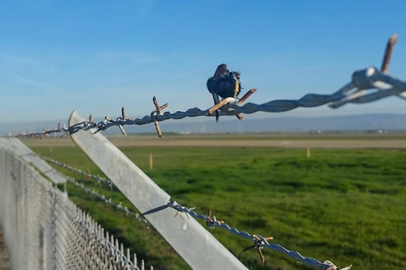 bumblebee impaled on barbed wire by shrikes