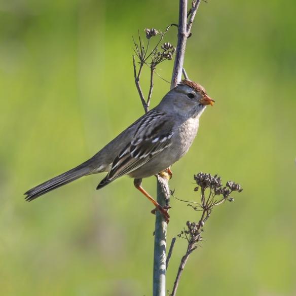 field sparrow-