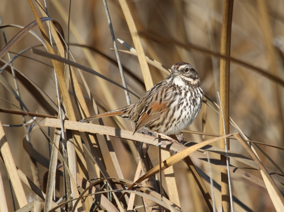 song sparrow in swamp grass-