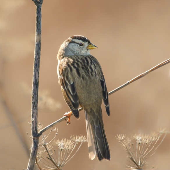 white-crowned sparrow-