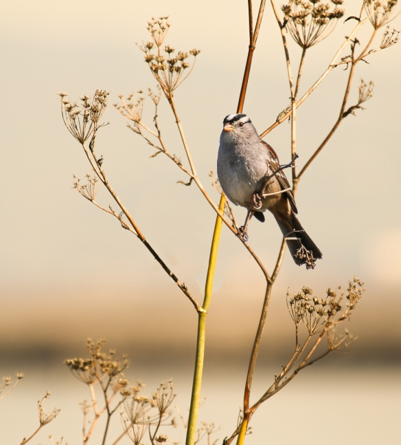 adult white-crowned sparrow on anise seed-