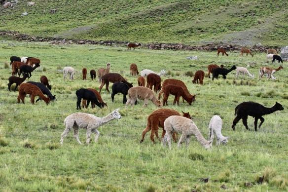Alpaca herd, Andean plateau, Peru