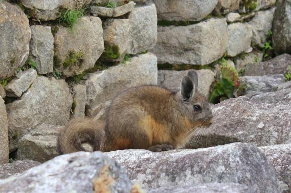Chinchilla hiding in rocks