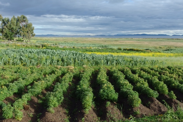 Mixed vegetable crops on the shore of lake Titicaca, Peru