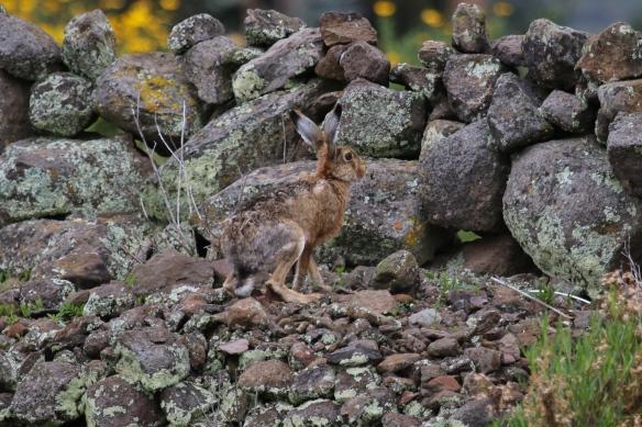 European hare, Lake Titicaca, Peru