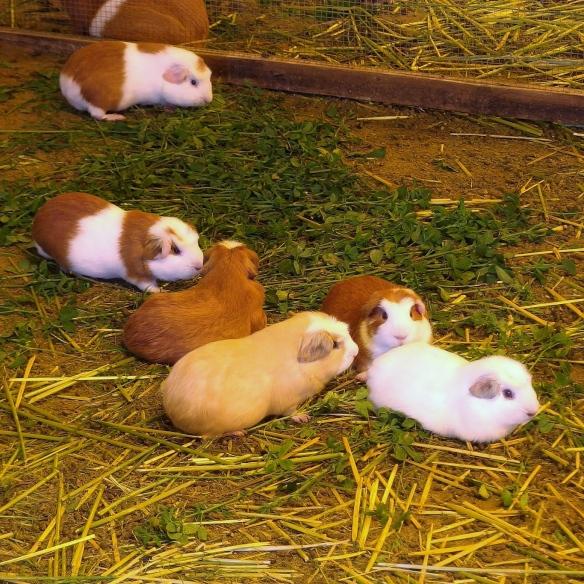 Guinea pig barn, Peru