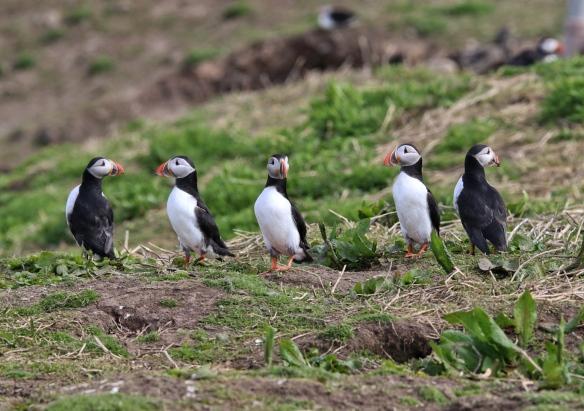 Atlantic Puffins, Inner Farne Island, England