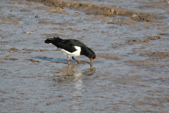 Oystercatchers pulling worms from the mud on the Norfolk UK coast